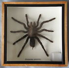 REAL TARANTULA SPIDER - EURYPELMA SPINICRUS - MOUNTED IN WOODEN FRAME OR BOX