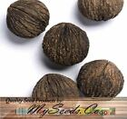 Black Walnut Tree Seeds , Juglans Nigra - Northern - HARDY TO ZONE 5 - BULK