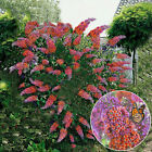 "BUDDLEIA ""FLOWER POWER"" BUTTERFLY BUSH VIBRANT COLOURS HEALTHY GARDEN PLANT"