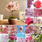 Cherry Blossoms Bonsai Flower Japanese Sakura Seeds Hot Garden 16 Styles 10PCS