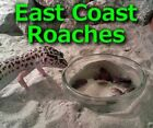 DUBIA ROACHES - Live Feeder Insects. medium small large adult mix kit colony