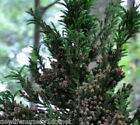 Black Dragon Cryptomeria Tree ( japanese cedar ) - Live Plant - Trade Gallon Pot