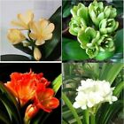 Flower Seeds, Mix Rare Color Chinese Clivia