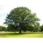Northern Red Oak Tree Seeds, Quercus Rubra