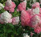 Strawberry Sundae Hydrangea - Live Plant - Quart Pot