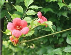 Campsis radicans 'Flamenco' Trumpet Vine 20% off 3 or more. See Promotions Box.