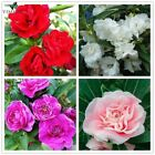 Garden Balsam White pink  red purple Impatiens Balsamina Bonsai Flower Seed for
