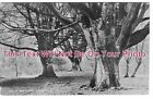 HA 710 - Giant Beeches, Mark Ash, New Forest, Hampshire - 6x4 Photo