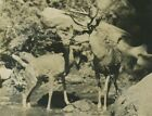 Buck deer in stream antique animal photo