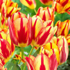 3Pcs Variety Tulip Bulbs Seeds Beautiful Flower Home Garden Plant Decor Arch