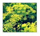 Bouquet Dill Seeds | NON-GMO | Fresh Garden Seeds
