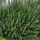 Rosemary Seeds - Common | NON GMO | USA Garden Seeds | Fresh 2021