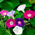 Morning Glory Mixed Flower Seeds | Planting Instructions Included | Fresh Seeds