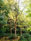 Chinese Red Birch, Betula albo sinensis, Tree Seeds (Fast, Fall Color, Hardy)