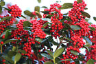 Chinese Holly, Ilex cornuta, Shrub Seeds (Showy Evergreen, Topiary, Hedge)