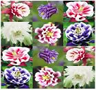 BULK ~ Aquilegia vulgaris - European Columbine Flower Seeds ~ Granny's Nightcap