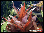 Live Aquarium Plants / Stem Plants / Midground / Background / Easy