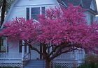 Eastern Red Bud, Cercis canadensis, Tree Seeds (Fast, Showy, Fall Color)