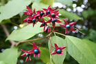 Harlequin Glorybower, Clerodendron trichotomum, Tree Seeds