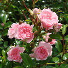 Bodendeckerrose / Rose / Rosa 'The Fairy' 2-3 Triebe im P1 Topf