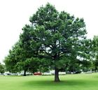 Austrian Pine, Pinus nigra, Tree Seeds (Evergreen, Hardy)
