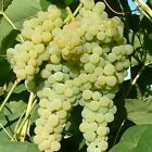 Grape Vine Lakemont White Seedless Grape