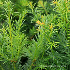 Taxus Baccata Yew Hedging Plants Bare Root 20-30cm