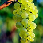 Grape Vine Riesling Strong British Grown