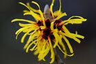 earthsgarden WITCH HAZEL  / WITCHHAZEL ~ 100% PURE ~ NATURAL ~ ORGANIC
