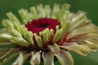 25 Seeds | Queen Red Lime Zinnia | Fresh Annual Flower Seeds