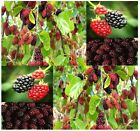 Black Mulberry Fruit - Morus nigra Tree Seeds - Zones 6 - 10