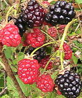 15 Blackberry Seeds -Toggle to See The Varieties