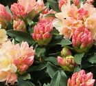 Golden Torch Rhododendron - Live Plant - Starter Plug (LG)
