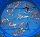 "Group of (10) 5-6"" ASSORTED Butterfly and Standard Fin Live Koi Fish"