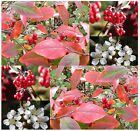 Red Chokeberry - Aronia arbutifolia Brilliantissima Seeds ~ CRIMSON LEAVES