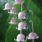 Lily Of The Valley Flower Bulb, Bell Orchid Seeds, Rich Aroma, Color 04