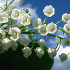 Lily Of The Valley Flower Bulb, Bell Orchid Seeds, Rich Aroma, Color 06