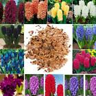 Home Gardening Ornamental Plants Mixed Color Hyacinth Flower Seeds LM