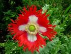 Danish Flag Poppy Papaver Somniferum 200 thru 10,000 Seeds