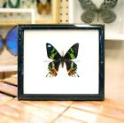 REAL EXOTIC MADAGSCAR BUTTERFLY SUNSET MOTH TAXIDERMY INSECT ENTOMOLOGY