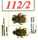 112-2  Scarabaeidae from  old coll. Onthophagus opacicollis Reitter, 1893