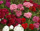 Sweet William Pinks Dianthus Flower Seeds Mixed Colors (1000 to 10,000 SEEDS)