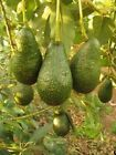 Avocado Oil - 100% Pure - multiple sizes - 2 to 8 oz