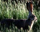 A Wild Hare In Long Grass WLD054 Reproduction Art Print A4 A3 A2 A1