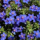 Blue Pimpernel - Non-stop blooms from summer to fall!! Deep Blue flowers!!