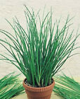 Chinese Garlic Chives - Delicious in salads, spreads and flavored vinegars.