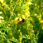Yellow Sweet Blossom Clover - Most valuable plants for honey production.Great!!!