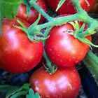 CZECH'S BUSH TOMATO SEEDS - Juicy red fruits with great taste!! Free Shipping!!!