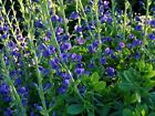 Blue Wild Indigo Seeds-A beautiful standout because of its striking blue flowers
