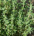 Thyme - Winter A winter-hardy thyme with good flavor and great yields!Free Ship